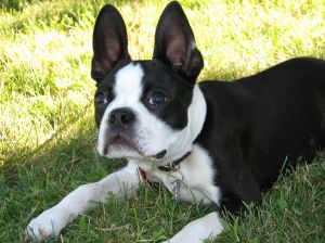 569002_boston_terrier_pup.jpg